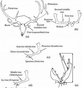 Main Elements Of The Antler   A  Accepted In The Present