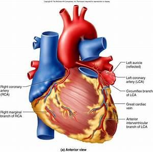 Anatomy  U0026 Physiology 1224  U0026gt  Rooney  U0026gt  Flashcards  U0026gt  Antphy
