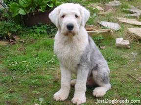 Low Shed Dogs Breeds by Doudou Old English Sheepdog Dog Breeds