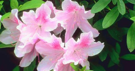 how to grow rhododendrons in containers ehow uk