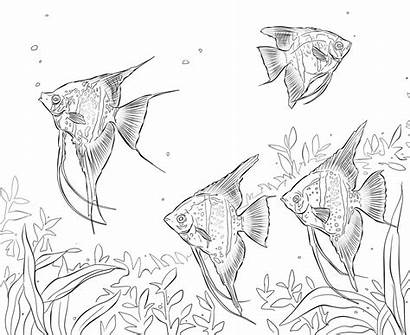 Coloring Freshwater Fish Peces Agua Dulce Angelfishes