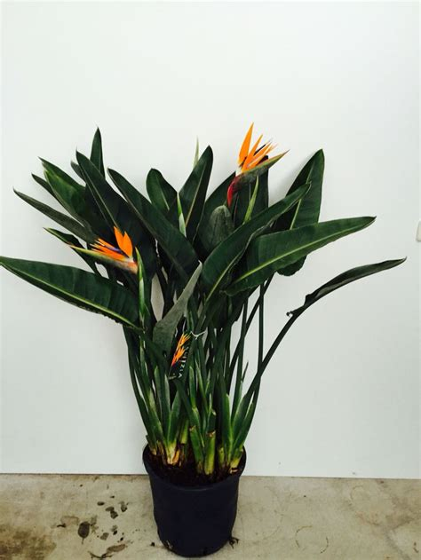 17 best images about strelitzia products hemert flowers on seasons florists and