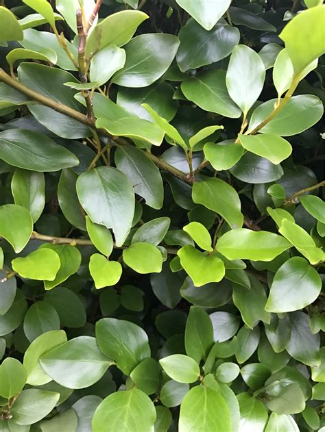 Identification  What Is This Shrub Being Used As Hedging