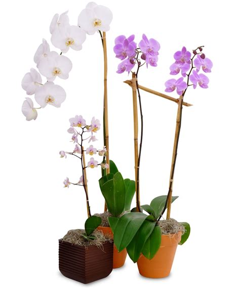 3 potted orchid plants delivered in baton la