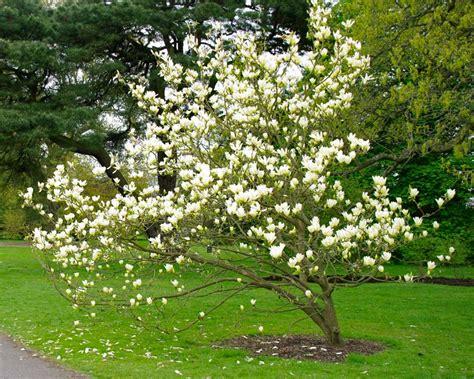 Nursery In Usa by Gardensonline Magnolia X Brooklynensis Elizabeth