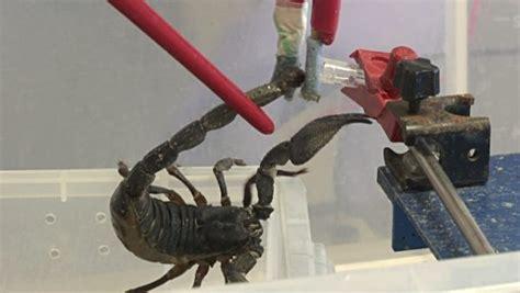 Moroccan Black Thick Tailed Scorpion Venom Androctonus
