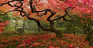 Japanese Maple Tree Wallpaper | Wall Decor