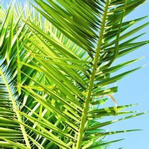 Palme Gelbe Blätter : palmenpflege und palmen arten ~ Lizthompson.info Haus und Dekorationen