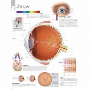Scientific Publishing The Eye Anatomy Chart