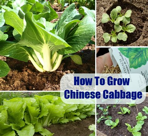 how to grow a garden how to grow chinese cabbage diycozyworld home improvement and garden tips