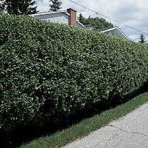 fast growing fence cover 106 best images about zone 4 trees and shurbs on pinterest trees and shrubs trees and white