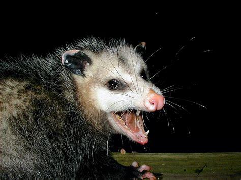 Possum Images Didelphis