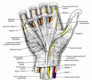 Hand Anatomy  Physiology  And Use