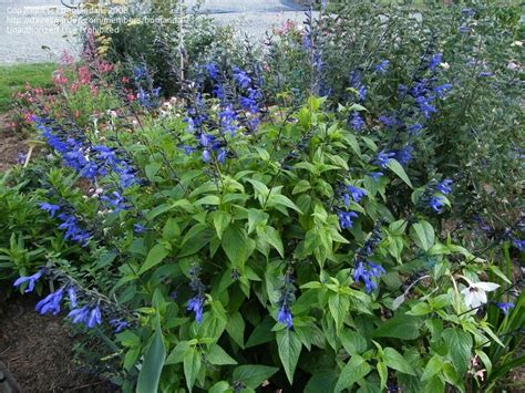 blue salvia black and blue salvia sun plants that work well in my garden pinterest salvia plants and