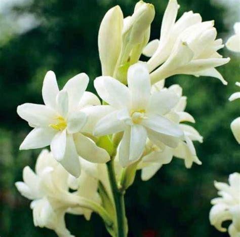 Tanaman Hias Bunga Sedap Malam jual bibit tanaman bunga sedap malam di lapak herbaplant