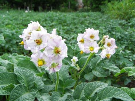 Pflanzen Von Kartoffeln Im Garten