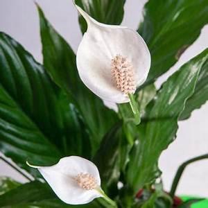 Entretien Plante Verte : spathiphyllum fleur de lune entretien rempotage arrosage ~ Medecine-chirurgie-esthetiques.com Avis de Voitures