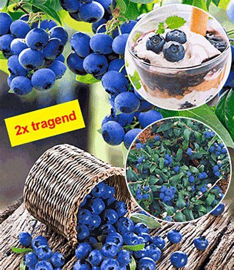 Heidelbeere Im Garten Pflanzen by Heidelbeere Quot Hortblue 174 Quot 1 Pflanze G 252 Nstig Kaufen