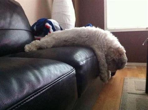 19 Awkward Dogs Losing The Battle With Human Furniture