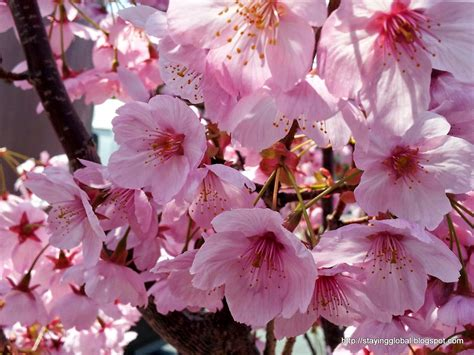 different types of cherry blossom trees a japanese life cherry blossom the different kinds