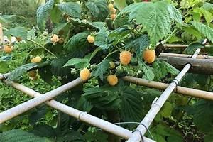 Heidelbeeren Pflanzen Balkon : himbeeren im garten oder auf dem balkon native plants ~ Lizthompson.info Haus und Dekorationen