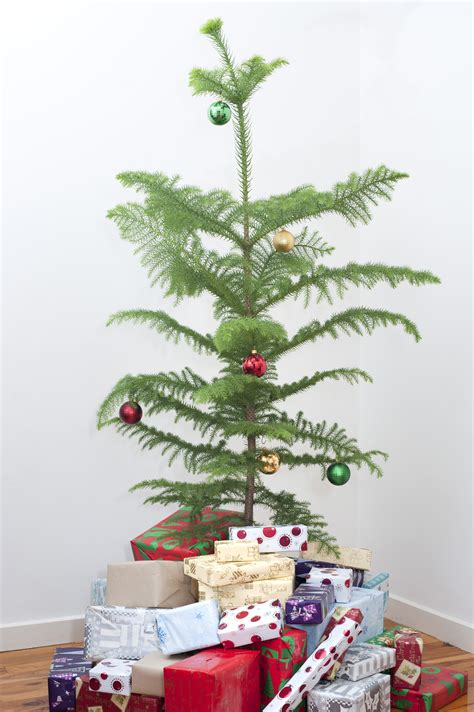 real christmas trees norfolk christmas decore