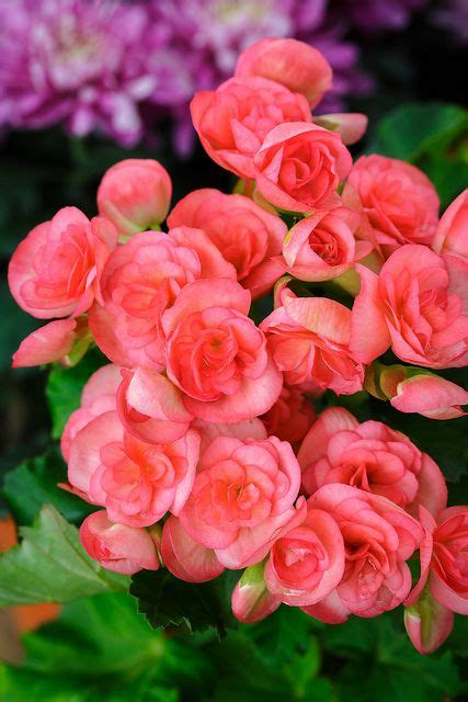 are begonias annuals pink begonia flowers flowers pinterest