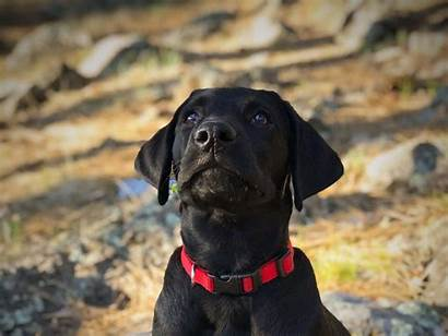 Labrador Puppy Lab Face Background
