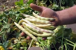cuisiner les cocos de paimpol ucpt légumes et horticulture en bretagne le coco de paimpol aoc