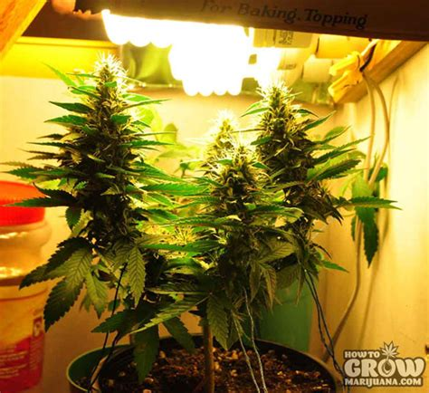 flowering cannabis with led lights marijuana grow lights led hps cfl