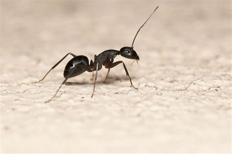 carpenter ants ant control services ant removal services ant control oakville