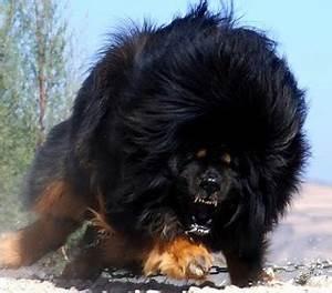 Caucasian Shepherd Dog Attack