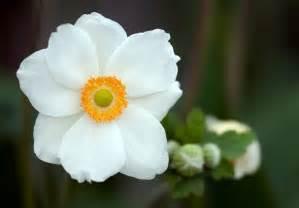 bleeding heart flower anemone flower weneedfun