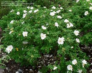 PlantFiles Pictures: Rugose Rose 'Alba' (Rosa rugosa) by ...