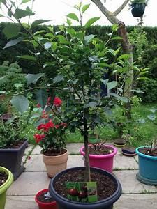 Pot Pour Arbre : arbre fruitier en pot des arbres fruitiers nains pour ~ Dallasstarsshop.com Idées de Décoration