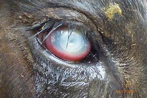 Overview Of Infectious Keratoconjunctivitis