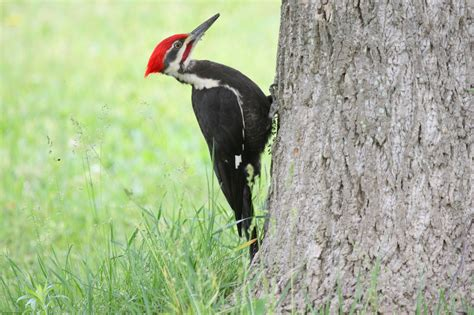 types of woodpeckers what do woodpeckers eat birds