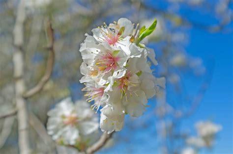 foto mandorlo in fiore mandorlo in fiore juzaphoto