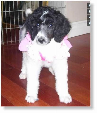 Standard Parti Kennel Poodle Castle Puppies Harper