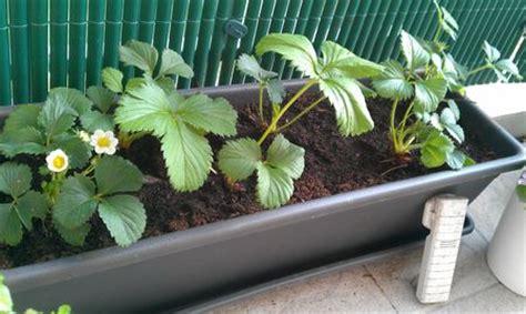 c est le moment de planter des fraises sur votre balcon r 233 sistance inventerre
