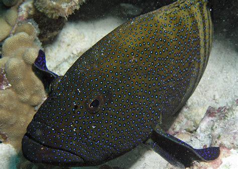 hawaiian grouper flickr