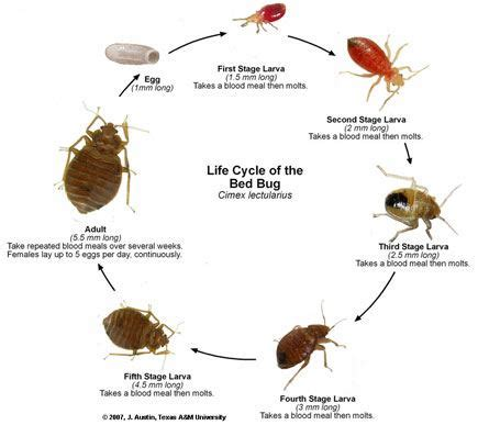 pest library bed bugs bug zero