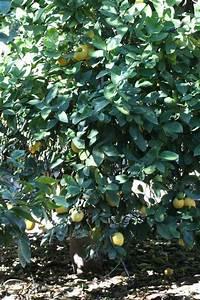 citrus id fact sheet interdonato