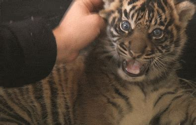 kittens adorable tigers gif find  gifer
