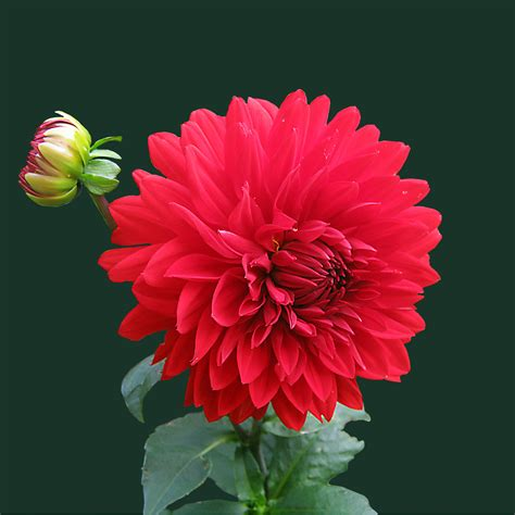 red beautiful flowers wallpapers  mobile cool hd