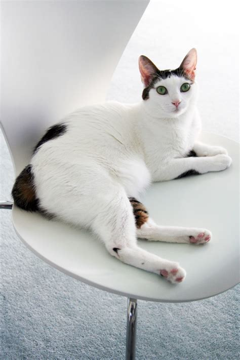 japanese bobtail information health pictures