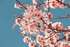 Rosa Blühender Baum Im Frühling : rosa blumen bl hender pfirsich baum am fr hling stockbild ~ Lizthompson.info Haus und Dekorationen