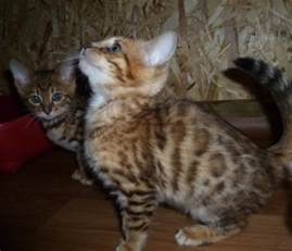 bengal cats for iowa city ia 202580 petzlover