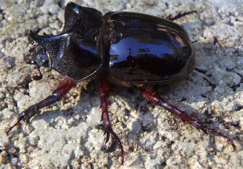 Ox Beetle - What's That Bug?
