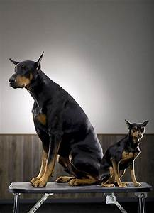 25+ best ideas about Miniature pinscher on Pinterest ...
